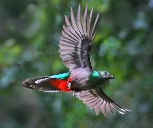 resplendent quetzal 2